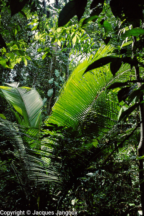 Tropical Rain Forest in Amazon Region, Dept. Loreto, Peru, South America; palm is Attalea sp.