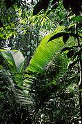 Tropical Rain Forest in Amazon Region, Dept. Loreto, Peru, South America; palm is Attalea sp.