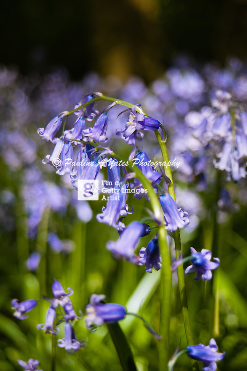 English bluebells photographed in the woods of Rycote Estate, Oxfordshire. Classic, quintessential, english summertime image.
