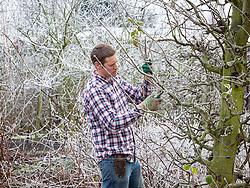 Pruning an apple tree in winter. Malus domestica