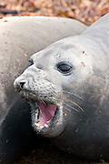A young female southern elephant seal opens its mouth showing its dog-like teeth
