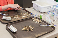 Artifacts are cleaned in the lab by University of Tennessee Students and local volunteers after being collected at Cannon's Pt. on St. Simons Island.