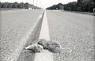 A dead squirrel is road kill on a rural highway outside Porterville, California in the central valley.