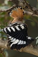 Stretching a wing, a Eurasian hoopoe displays its beautiful crest plumage, Parc de l'Oreneta, Barcelona, Spain.