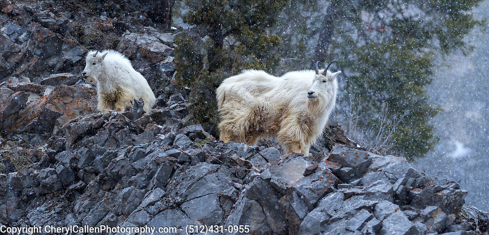 Mother Mountain Goat and her kid in the Teton area of Wyoming