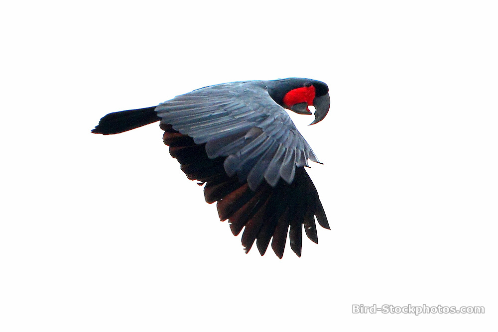 Palm Cockatoo, Probosciger aterrimus, flying, Papua New Guinea, by Markus Lilje