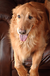 Pet portraits of gorgeous Golden Retriever on brown leather couch