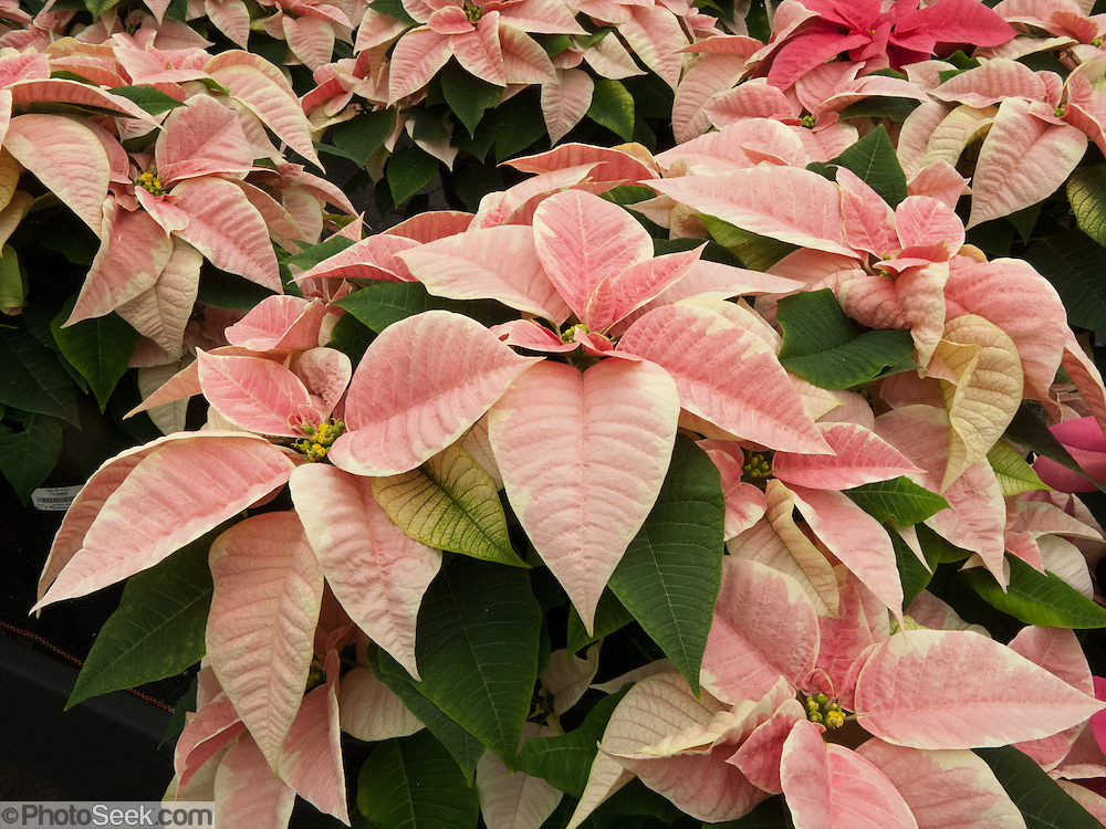 "The Poinsettia (Euphorbia pulcherrima) is indigenous to Mexico and Central America. This flowering plant is named after Joel Roberts Poinsett, the first United States Minister to Mexico, who introduced the plant into the US in 1828. The Aztecs used the plant to produce red dye and as an antipyretic medication. Today it is known in Mexico and Guatemala as ""Noche Buena"", meaning Christmas Eve. In Spain its is known as ""Flor de Pascua"", meaning Easter Flower. In both Chile and Peru, the plant became known as ""Crown of the Andes""."