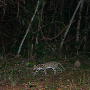 Wild leopard cat (Prionailurus bengalensis) in Thailand at dusk.