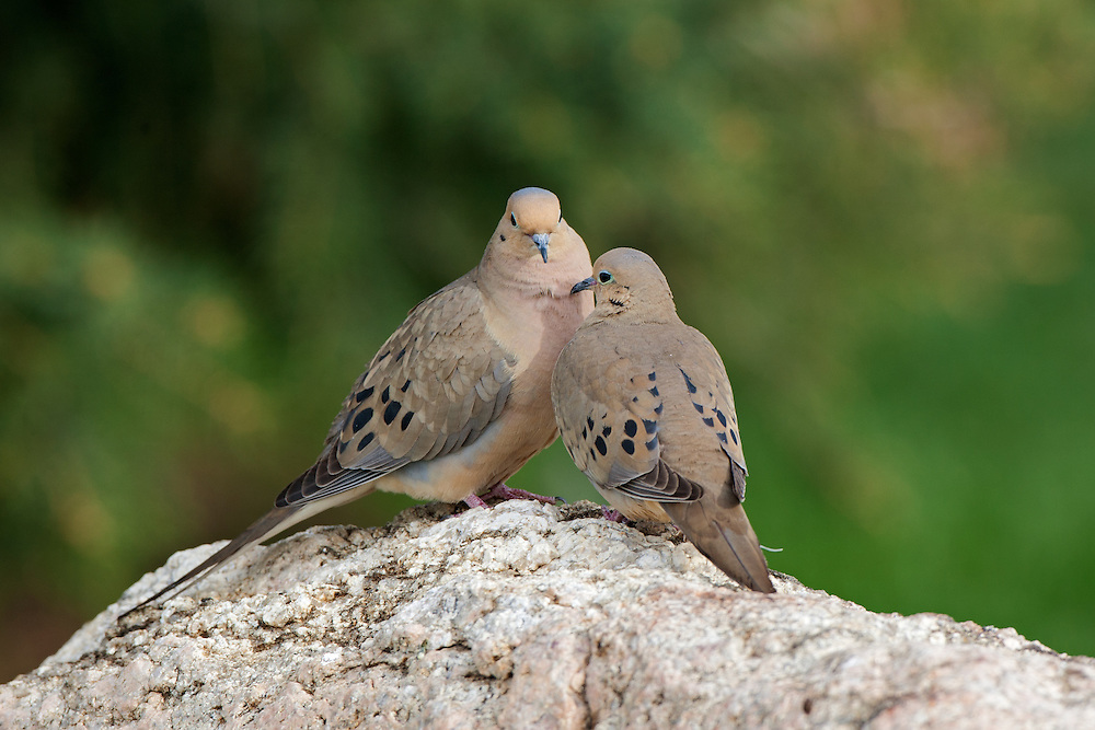 Stock photo of mourning dove captured in Colorado.  Both males and females secrete a substance from their crop that is high in protein and fat and is used to feed young birds.