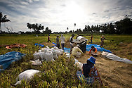 Keutapang Village near Banda Aceh - Aceh, Indonesia  Nov. 2008. Villagers harvest and process rice. (Heifer program in community)
