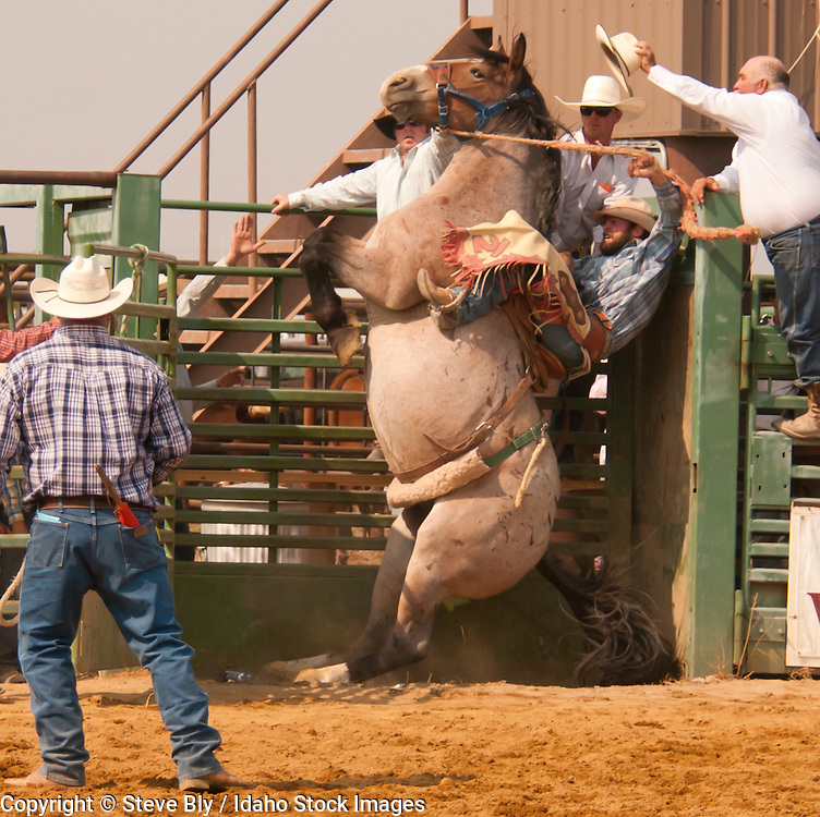 Cowboy pinned in the chute by horse during the Saddle Bronc Event at the Rodeo, Idaho, USA
