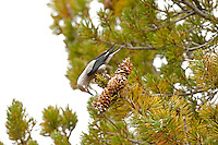 A Clark's Nutcracker feeds on pine nuts in the northern Utah Mountains Nutcracker's are part of the Jay family.