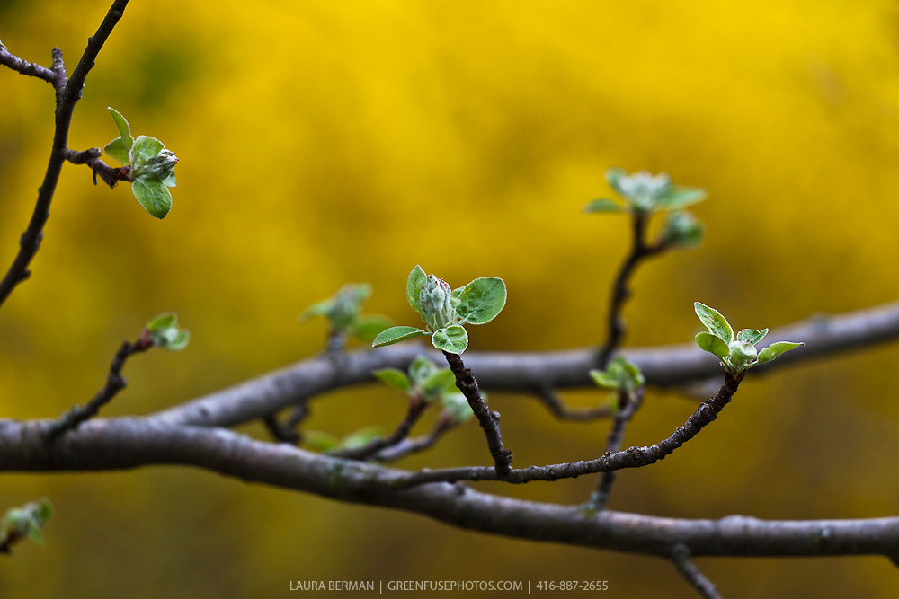 Apple blossoms about to open, against a diffused, bright yellow background of forsythia flowers.