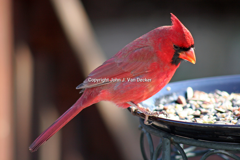 Northern Cardinal, Cardinalis cardinalis, male, surveying feeding plate of fruits and nuts