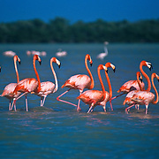 Flamingos in Celestun, Yucatan.