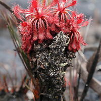 Years of old growth form a 'trunk' on this carnivorous sundew (Drosera roraimae). Canaima National Park, Venezuela.