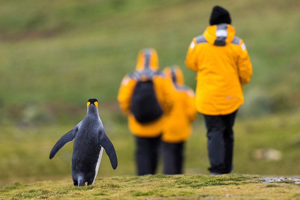 A king penguin walks behind tourists during the Quark Expedition on Wednesday, Jan. 31, 2018 in Grytviken, South Georgia. (Photo by Ric Tapia)