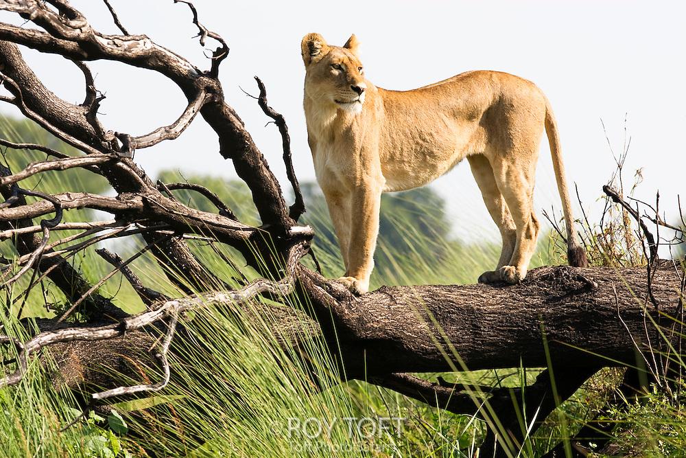 Portrait of an African Lion (Panthera leo) standing on a fallen tree limb, Botswana.