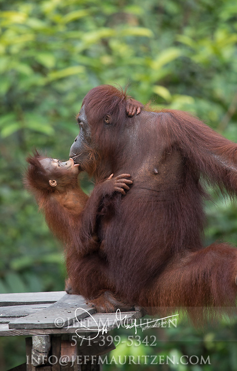 An infant Bornean orangutan kisses its mother on a wooden platform in Tanjug Putin National Park in Indonesia.