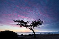 Cypress Tree at Dusk on the Shores of San Francisco Bay, Alameda, California