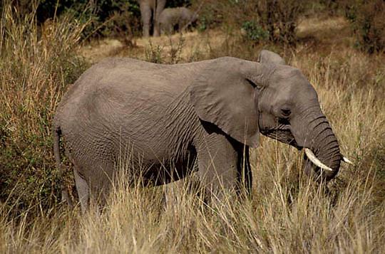 African Elephant, (Loxodonta africana)  Browsing on grasses. Serengeti Plains. Masai Mara Game Reserve. Kenya. Africa.