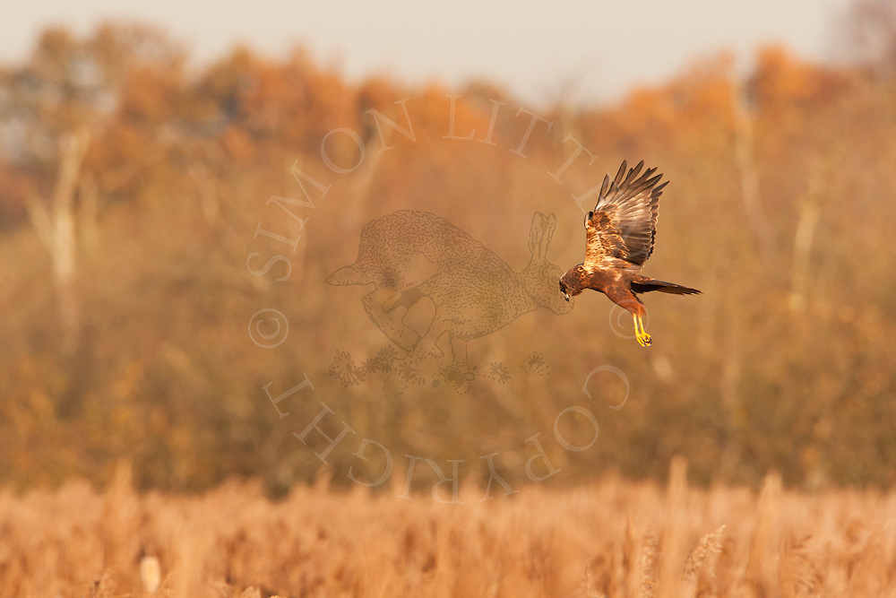 Marsh Harrier (Circus aeruginosus) juvenile hunting over reedbed, Norfolk, UK.