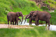 A herd of African Bush Elephant (Loxodonta africana) Photographed in The wild