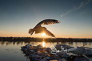 Gulls fly over the Southwest Waterfront at sunset in Washington DC.