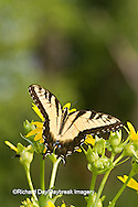 03023-02719 Eastern Tiger Swallowtail (Papilio glaucus) on Cup Plant (Silphium perfoliatum) Marion Co. IL