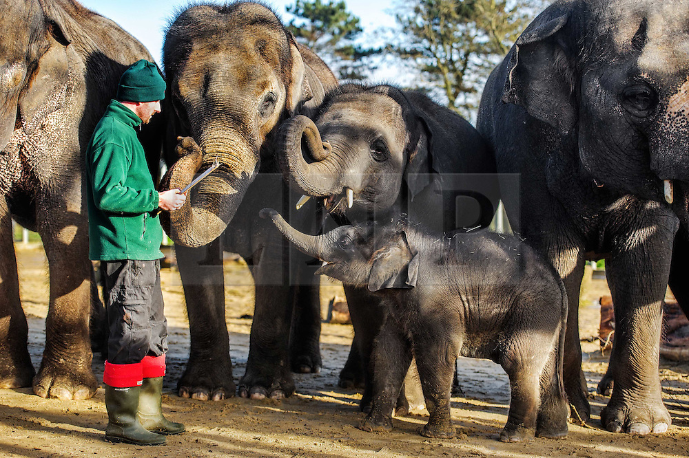© Licensed to simonjacobs.com. 07/01/2014 Whipsnade, UK.  Keeper Darren Fellowes counts the Asian elephants, including the latest addition to the herd, 3 month old Max during the annual stocktake at Whipsnade Zoo.<br /> Home to more than 2,500 animals zookeepers take stock of every invertebrate, bird, fish, mammal, reptile, and amphibian.<br /> The compulsory count is required as part of the zoo's license, the results are logged and the data is shared with zoos around the world to manage international breeding programmes. Photo credit : Simon Jacobs