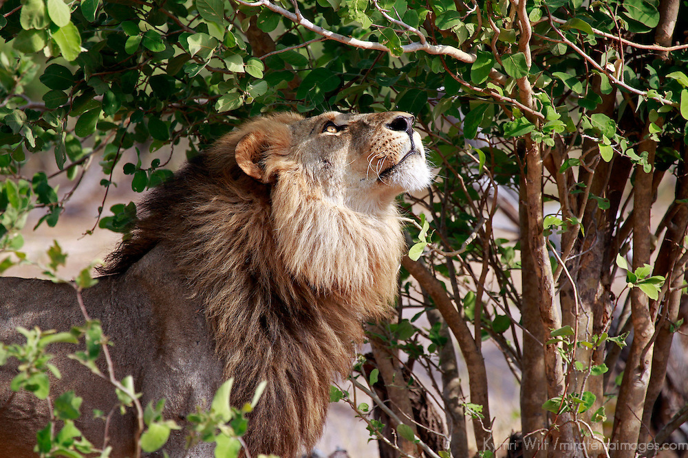 Africa, Botswana, Savute. Lion looking up in tree at Savute, Chobe National Park.