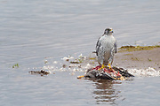The gyrfalcon or Falco rusticolus (gerfalcon) is the largest of all falcon species. The Gyrfalcon breeds on Arctic coasts and islands of North America, Europe and Asia. The gyrfalcons on these photos is icelandic.