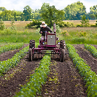 A farmer in a straw hat carefully threads his tractor between rows of heirloom tomato plants. The tractor is an antique, red International Harvester Famall.