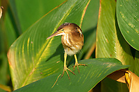 Least Bittern (Ixobrychus exilis) juvenile,  Wakodahatchee Wetlands, Delray Beach, Florida, USA   Photo: Peter Llewellyn