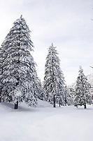 Snow Covered Trees on Mount Baldy, Angeles National Forest, California
