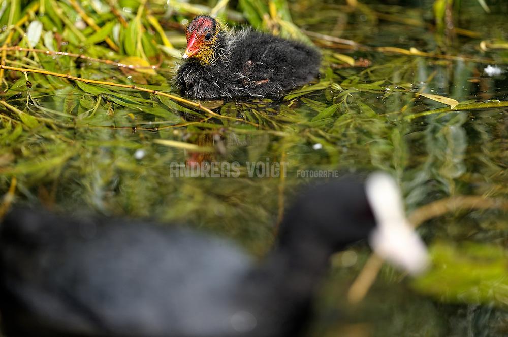 Blesshuhn mit Jungem auf der Alster. Blesshühner, gehören zur Gattung von Wasservögeln aus der Familie der Rallen. Sie leben in sumpfigen Uferstreifen und auf langsam fließenden oder stehenden Gewässern. Blesshühner haben einen kurzen, geraden Schnabel, dessen Basis sich auf der Stirn zu einem Hornschild verlängert. Anstelle von Schwimmhäuten besitzen Blesshühner Schwimmlappen an den Zehen.