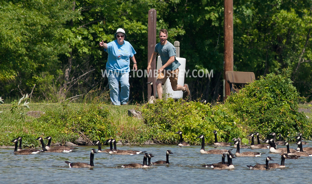 Middletown, New York - New York State Department of Environmental Conservation workers race to stop Canada geese from escaping the lake at Fancher-Davidge Park on June 23, 2014.