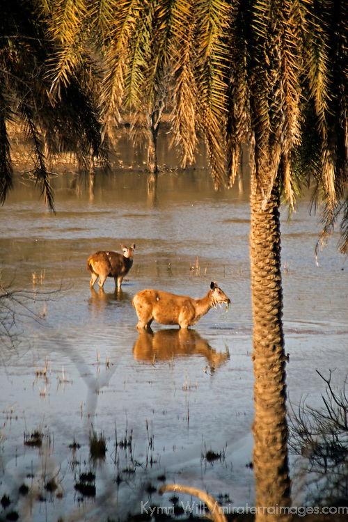 Asia, India, Ranthambore. Sambar Deer in water at Ranthambore.