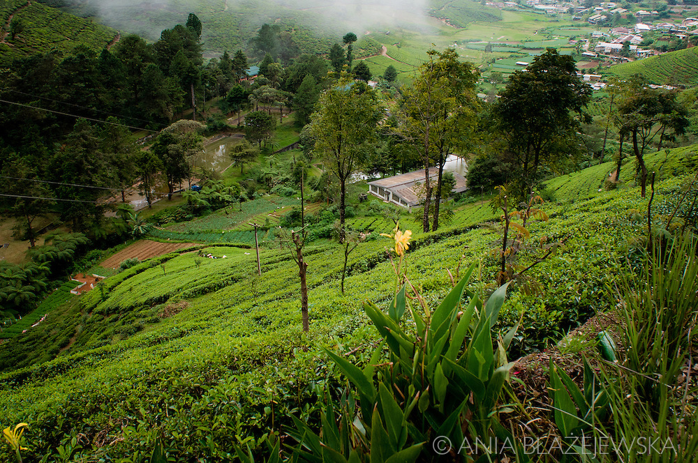 Sri Lanka. Tea plantations near Nuwara Eliya.