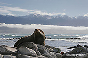 New Zealand fur seal or fur sea lion, Arctocephalus forsteri, resting, Kaikoura, South Island, New Zealand