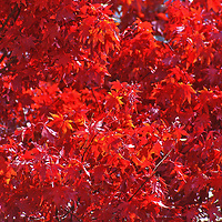 Red Maples in the Catskill Mountains outside of Woodstock in Upstate New York