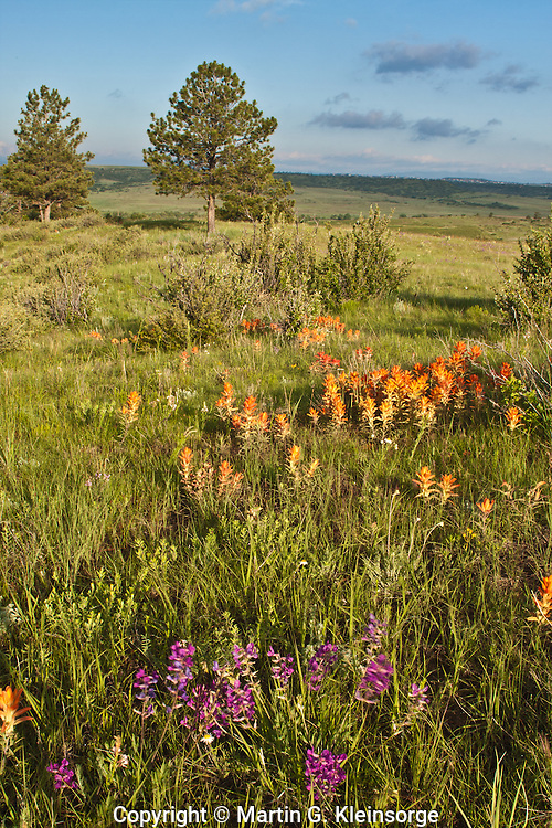 Orange Paintbrush and penstemons thrive after heavy spring rains on the Colorado plains at Whispering Pines Park.