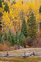 Autumn paints Aspen (Populus tremuloides) and Red Osier Dogwood  along with spruces along a rail fence in the Uncompahgre National Forest, Colorado, USA.