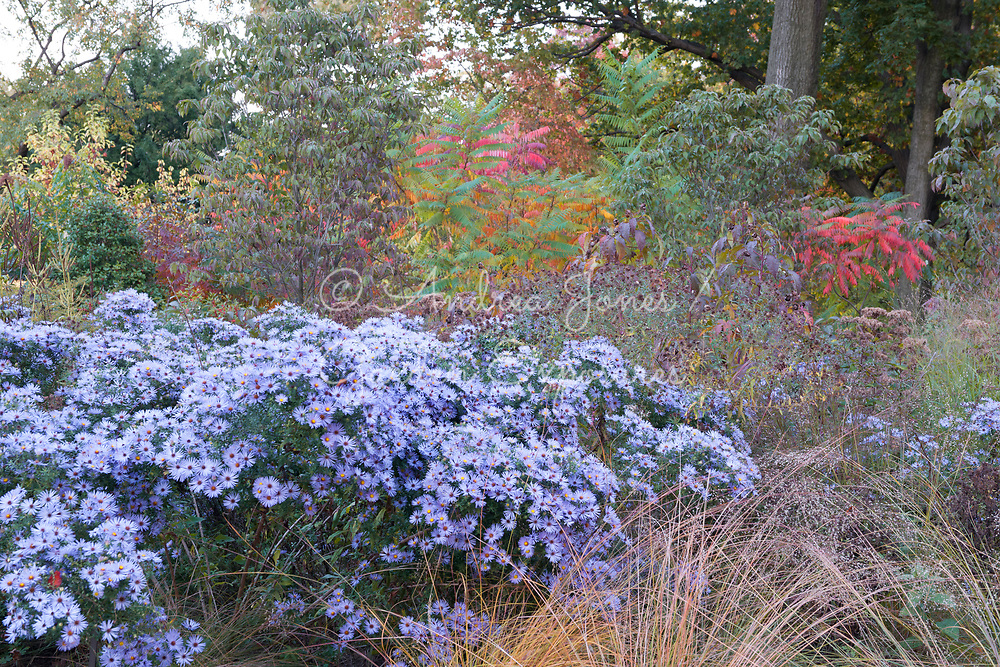 New York Botanical Garden's Native Plant Garden in autumn showing  woodland borders including asters and rhus. Planting by Oehme, van Sweden