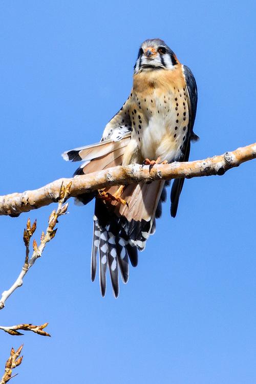 American Kestrel (Falco sparverius), Boulder County, Colorado