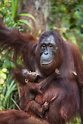 Bornean Orangutan <br /> Pongo pygmaeus<br /> Mother and one-year-old baby (suckling)<br /> Tanjung Puting National Park, Indonesia