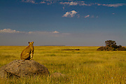 Lioness looking for possible breakfast, Semetu Kopjes, Serengeti National Park, Tanzania.