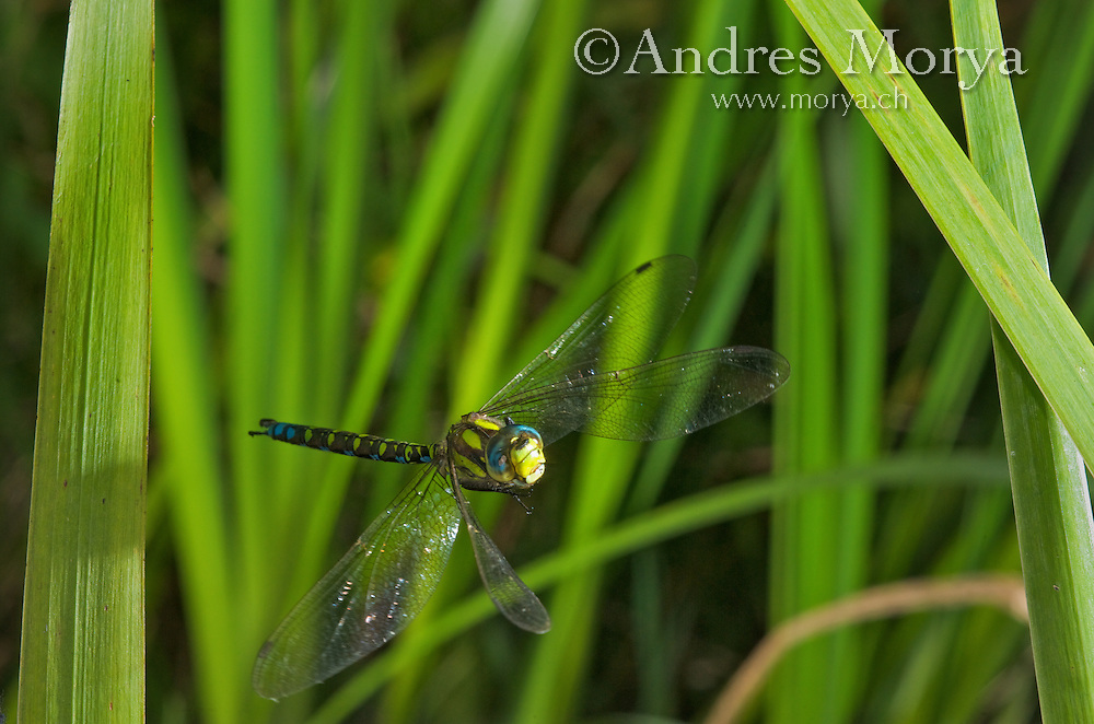 Southern Hawker or Blue Darner in Flight (Aeshna cyanea), Switzerland Image by Andres Morya