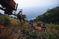 2000, Manarola, Italy --- People Harvesting Grapes --- Image by © Owen Franken/CORBIS